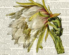 vintage cactus flower I printed on vintage page di FauxKiss