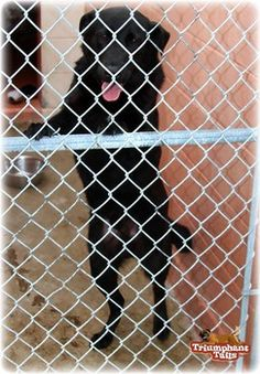 Please help Bruno!! he has kennel cough!! Last call for friendly Labrador mix in Texas