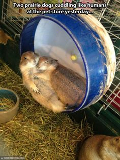 Two prairie dogs cuddling. Omg, the cuteness!!!