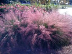 Gulf Coast muhly is showiest of fall ornamental grasses LSU ...