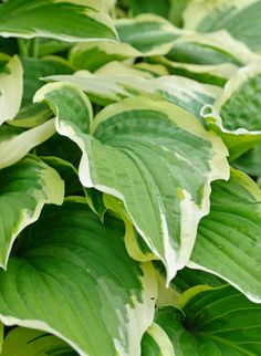 Hosta Fortunei var. Aureomarginata, Gold-Edged Plantain Lily, Hosta Fortunei var. Obscura 'Aureomarginata', Hosta 'Aureomarginata' (fortunei), Hosta 'Obscura Marginata' (fortunei), Hosta 'Yellow Edge', Shade perennials, Plants for shade, Hosta 'Gold Crown'