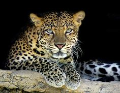 "https://flic.kr/p/4HqoMa | Leopard - Panthera pardus | >> <a href=""http://www.flickr.com/photos/tropicaliving/2954454556/"">Get more close~!</a>   Fast Fact. Type: Mammal Diet: Carnivore Protection status: Endangered  Leopards are graceful and powerful big cats closely related to lions, tigers, and jaguars. They live in sub-Saharan Africa, northeast Africa, Central Asia, India, and China. However, many of their populations are endangered, especially outside of Africa.  The leopard is so ..."