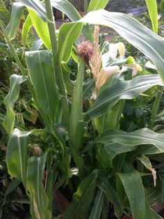 Our corn is starting to make the ears.