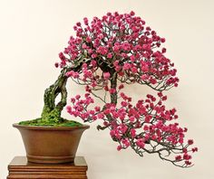 Japanesse Flowering Apricot... A Dream Come True.