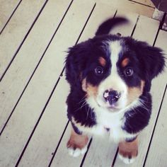 Bernese mountain dog - Love these! Puppies And Kitties, Cute Puppies, Cute Dogs, Doggies, Baby Dogs, Animals And Pets, Baby Animals, Cute Animals, Mundo Animal