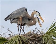 Great Blue Herons, The Placement