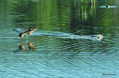 Photo: Beaucoup d'activités ce matin chez les Canards colvert