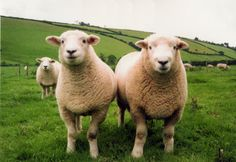sheep | ... sheep breeders if you are looking for commercial sheep pedigree sheep