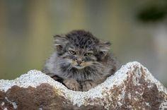 The World's Best Photos of pallaskatt Silly Cats, Big Cats, Cats And Kittens, Cute Cats, Beautiful Cats, Animals Beautiful, Felis Manul, Wild Cat Species, Pallas's Cat