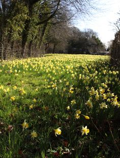 Road Not Taken: Robert Frost's Daffodils in Gloucestershire Wild daffodil meadow, Gloucestershire. Daffodil Color, Daffodil Bulbs, Daffodils, Beautiful Landscapes, Beautiful Gardens, Sunset Road, The Road Not Taken, Spring Landscape, Landscape Design