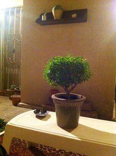 Planta de albahaca.