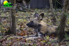 African Painted Dog. Come see them on one of our amazing tours! Call the center to reserve your spot: 636-938-5900. Photo taken at the Endangered Wolf Center.