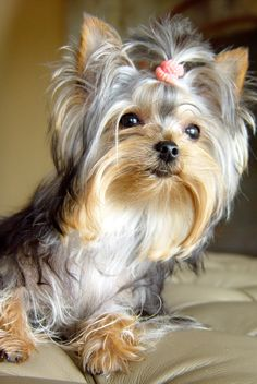 1000 Ideas About Yorkie Hairstyles On Pinterest Yorkie