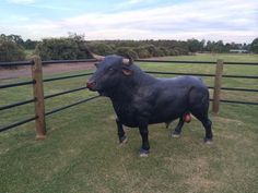 Realistic Spanish Bull Statue