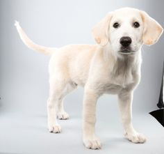 Photo gallery: Puppy Bowl XI: Faulkner, a 12-week-old great Pyranees/lab mix, brings brawn to Team Ruff. But when he's not on the football field, he's practicing fancy footwork for tryouts on Dancing with the Stars. - #veterinary dvm360
