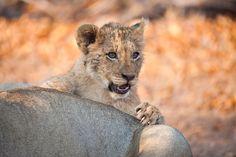 Little Lion by Rudi Hulshof - Photo 164163077 - 500px