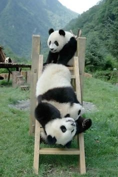 panda. They are so playful and adventurous.