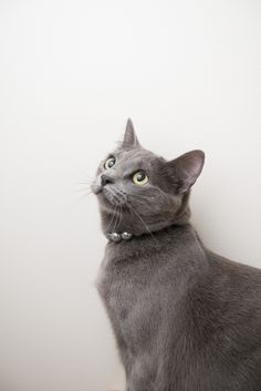 Grey Cat at eastbayspca.org
