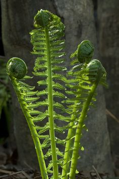 fiddlehead ferns - i have always wanted to have them somewhere.