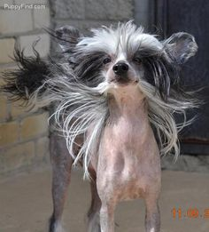 Chinese Crested Pictures (4m22hm7xspn)