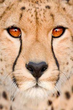 obviamente no es un insecto, es un hermoso cheeta