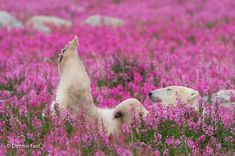 Even though we are used to think of polar bears in their cold environment, they also enjoy summer and the flowers that come with it. Dennis Fast, a Canadian photographer, discovered a polar bear playing with small purple flowers in Canada. Top Photos, Rare Photos, Beautiful Creatures, Animals Beautiful, Cute Animals, Majestic Animals, Happy Animals, Wild Animals, Beautiful Flowers