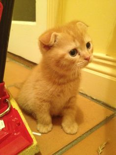 Scottish Fold I want it :3
