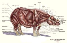 Indian Rhinoceros - Muscles, color pencil and ink on paper, 18 x 24, 2013 by Gregg Hierholzer, gregghierholzer@gmail.com