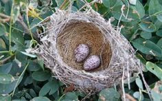 African Red-eyed Bulbul eggs