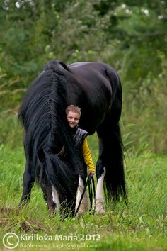 Vladimir Heavy Draught stallion, Vizit. (The gentleness of the heavy horses is illustrated perfectly in this photo)