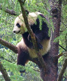 Panda hanging out in China... #travel #china