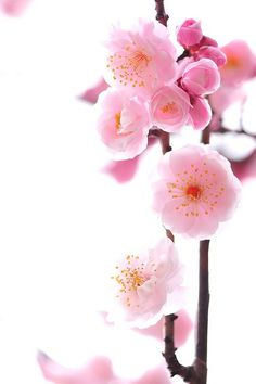 cherry blossoms I love em Sakura Flowers Nature, My Flower, Spring Flowers, Beautiful Flowers, Floral Flowers, Rosa Pink, Sakura Cherry Blossom, Deco Floral, Peach Blossoms