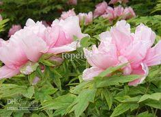 portulaca matsuba peony 2000 flor sementes em massa da exploração agrícola da china