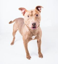 Rover - URGENT - located at Dekalb County Animal Shelter in Decatur, Georgia - 2 year old Male Am. Pit Bull Mix