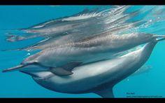 Dolphin photography...capturing beauty in the Hawaiian waters