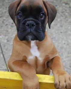 Baby Boxer Puppies, Boxer Dogs Facts, Boxer Puppies For Sale, Boxer And Baby, Baby Dogs, Doggies, Funny Boxer, Funny Dogs, Small Cute Puppies