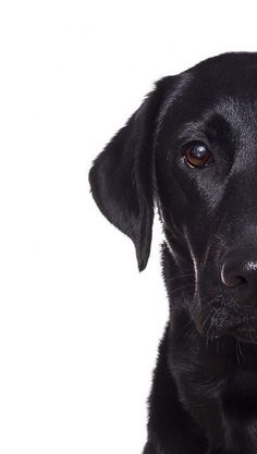 Mind Blowing Facts About Labrador Retrievers And Ideas. Amazing Facts About Labrador Retrievers And Ideas. Black Lab Puppies, Dogs And Puppies, Doggies, Black Puppy, I Love Dogs, Cute Dogs, Animals Beautiful, Cute Animals, Labrador Retriever Dog
