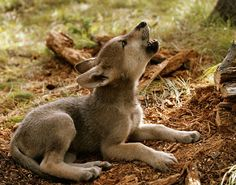 wolf pups are born in late winter/ early spring. Pups weighs a pound  grow rapidly, gaining about three pounds per week for the first three months.  Young wolves are naturally curious, bold, and aggressive, which is important as they start to explore their world and form relationships within the pack.