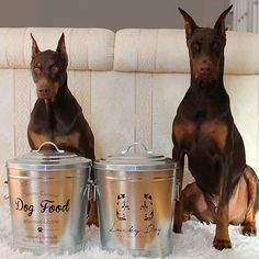 """Uh oh... somebody doesn't like the fact they can't open their new food bins!  . . @ruby_prince_dobermans -  Ruby's not amused. She's been trying to get into our new @amicihome pet food bins. So far, they are Ruby proof which I am loving!  Not to mention they are so much prettier than the other bulky plastic ones we had.  . These bins are from their new collection called """"Rocky Pet Food Bins."""" The lids and bodies have a galvanized finish and they each can hold up to 21 lbs of dry d..."""