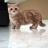 This is a munchkin cat, they have the same gene that gives dachshunds their long body and short legs. Enjoy.