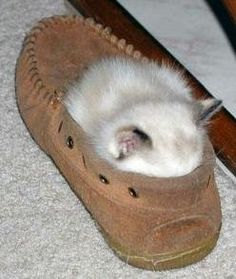 kitten in loafer