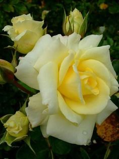 Pretty yellow rose.