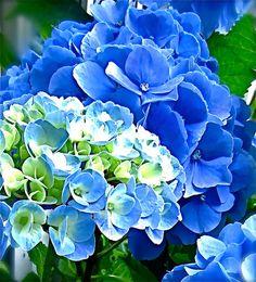 Flower Photography ' I'm Blue' Hydrangea close by JanetLongArts,