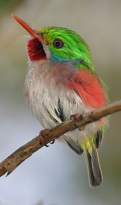 The Cuban Tody (Todus multicolor) is a bird species in the family Todidae that is restricted to Cuba and adjacent islands.  The species is characterized by small size (4.3 in), large head relative to body size, and a thin, pointed bill. Similar to other todies, the coloration of the Cuban Tody includes iridescent green dorsum, pale underparts, and red highlights.
