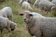 Hodowanie owiec nie należy do działalności, którą mogą zajmować się wszyscy. Ekologiczna hodowla musi odbywać się w naturalnych warunkach. Tylko wtedy owce są w stanie żywić się w pełni wartościowym pokarmem. Jest to istotne, ponieważ miejscem żywienia  zwierząt przeżuwających powinna być łąka.