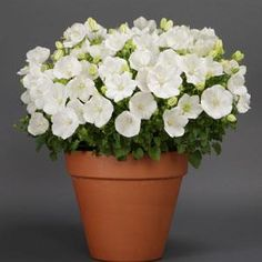 Buy 'Rapido White' Campanula for pure white flowers throughout the summer and dark-green foliage. Available at Wayside Gardens! Campanula, Front Landscaping, Farm Gardens, Ornamental Grasses, Perennial Vegetables, Perennial Plants, Bellflower, Perennials, Plants
