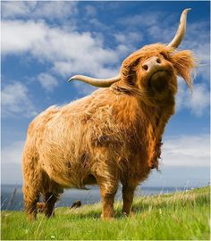 Galaxy Zoom UK release date set for July Digital Camera World photo of the day Scottish Highland Cow, Highland Cattle, Scottish Highlands, Scottish Gaelic, Highland Cow Art, Farm Animals, Animals And Pets, Cute Animals, Beautiful Creatures