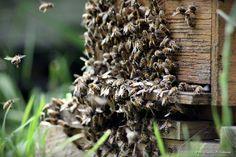 Initiation pour débutant à l'apiculture Naturelle Réservez dès à présent vos essaims pour la saison 2018 Maine et Loire