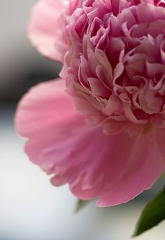 Pink PEONY  _____________________________ Reposted by Dr. Veronica Lee, DNP (Depew/Buffalo, NY, US)