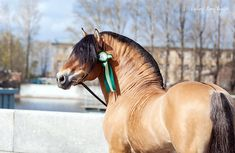 Byelorussian Harness Horse stallion Kholodok